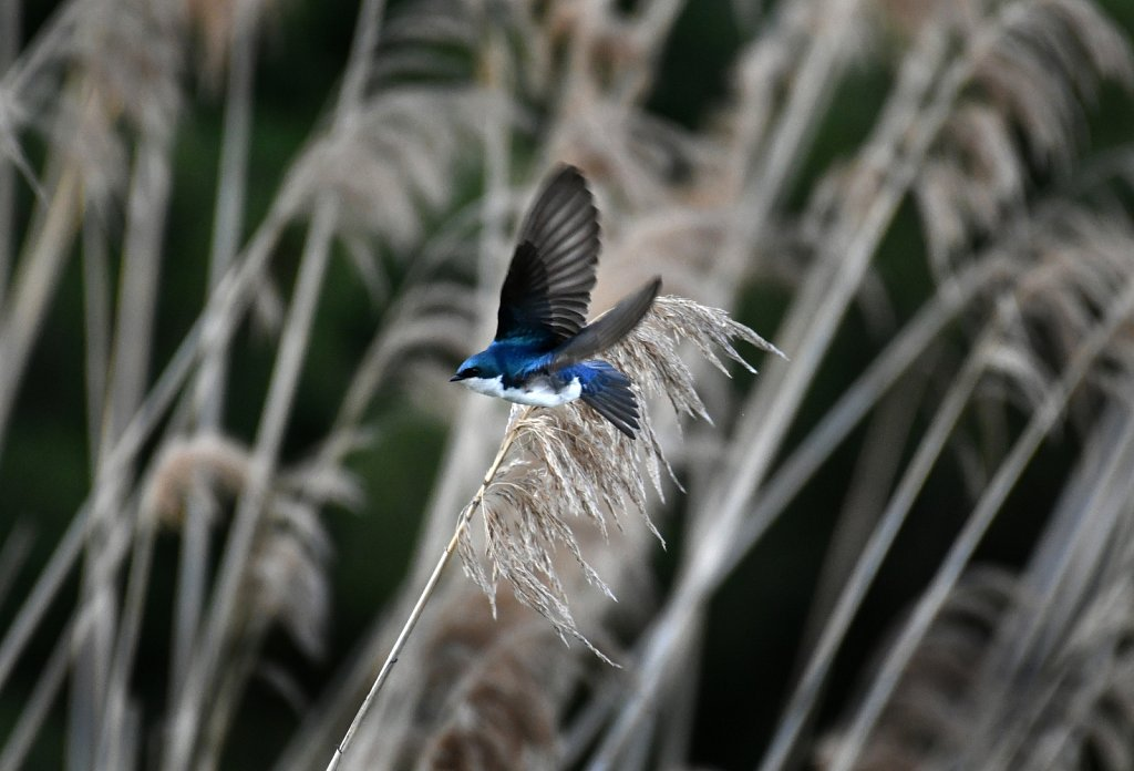 Tree-swallow-2334-copy.jpg