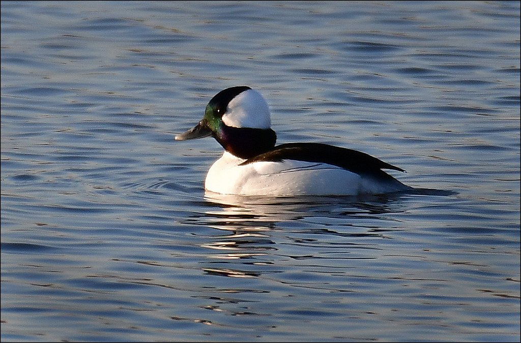20200223-Bufflehead-6485-copy.jpg