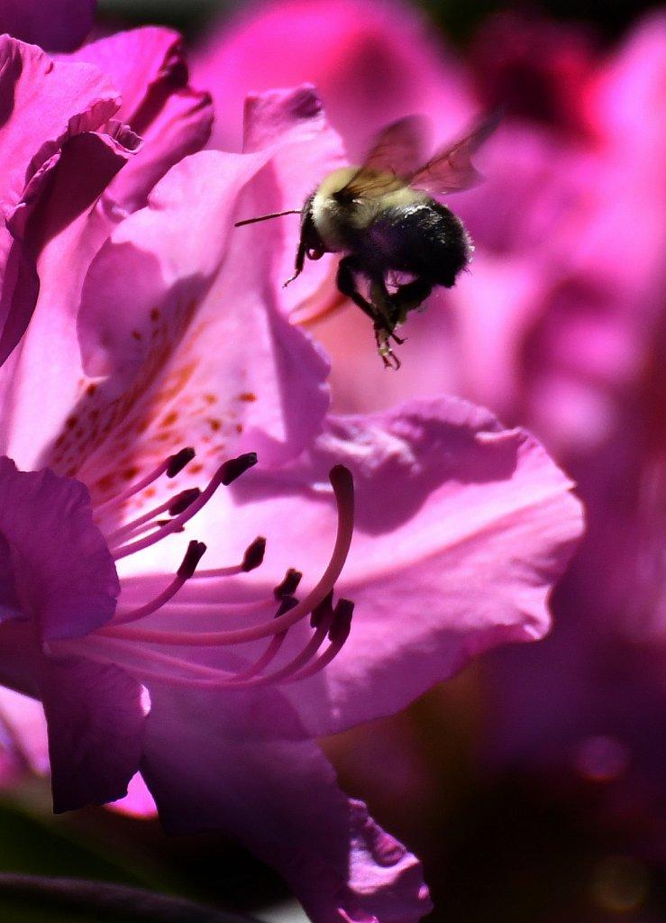 Bee-Landing-6917-copy.jpg