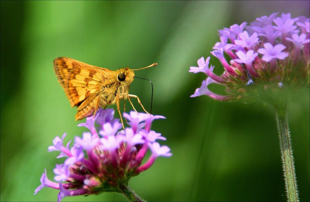 Butterflies And Moths of New Jersey